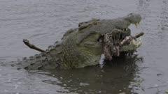 Large crocodile eating a male impala it just killed