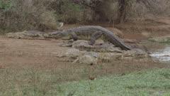 Nile crocodile walking on shore