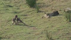 Chacma baboons playing on river bank
