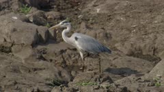 Grey heron walking and fishing