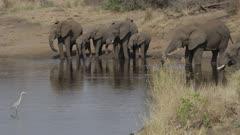 Elephants drinking and leaving waterhole, grey heron watching