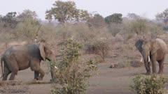 Two male elephants fighting