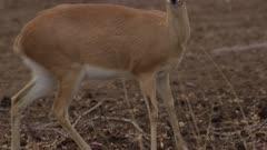 Female steenbok eating