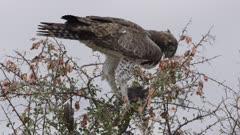 Martial eagle eating a guinefowl in a bush