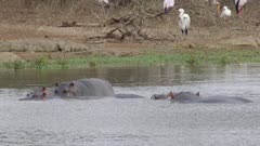Hippos in water with crocodiles and yellow-billed storks in background