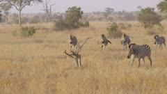 A group of zebra walking