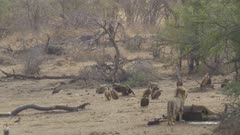 Male lion watching vultures, drags his giraffe carcass a little