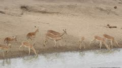 A bunch of impala drinking at lake, run off scared at end