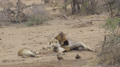 Two male lions at giraffe carcass, one in meat coma, one eating