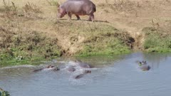 Hippos walking out of a river