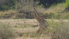 Giraffe getting a drink in the Sabie River