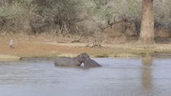 Two young hippos play fighting with crocodiles and grey heron in background