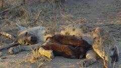 Two three week old hyena pups nursing