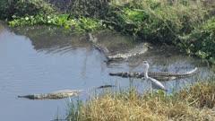 Crocodiles fishing in the Crocodile River