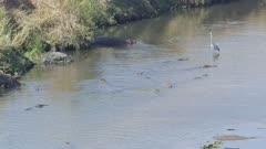 Crocodiles fishing in the Crocodile River, hippo, grey heron, hamerkop