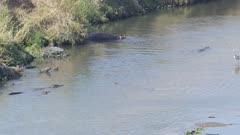 Crocodiles fishing in the Crocodile River, hippo, grey heron