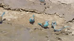 Blue waxbills, female Jameson's firefinch, yellow-fronted canary drinking