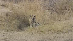 A male leopard hiding from impala he wants to eat