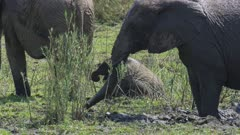 Elephant adults and babies playing in the mud