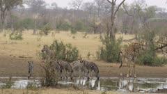 a bunch of zebra and a giraffe drinking