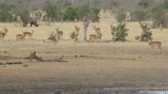 lots of impala milling around and a wildebeest