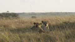 Three female lions resting, watching