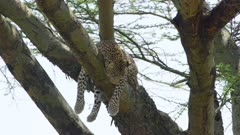 Pregnant leopard in a tree