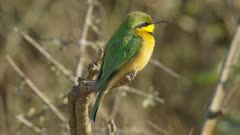 Little bee eater looking for bugs