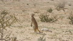 Meerkat watching the skies for predators