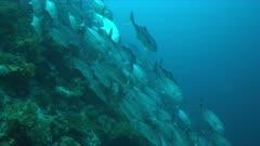 School of Big-eye Trevallies on a coral reef. 4k footage