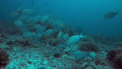 Yellowfin Surgeonfishes on a coral reef. 4k footage
