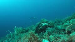 Manta ray on a colorful coral reef with healthy corals and plenty fish. School of Jacks and Emperors 4k footage