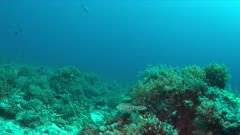 Manta ray on a colorful coral reef with healthy corals and plenty fish. 4k footage