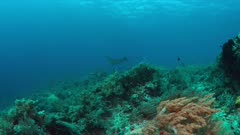 Manta ray swims against the current on a coral reef with healthy corals. 4k footage