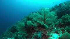 Colorful coral reef with big sea fans and plenty fish. 4k footage