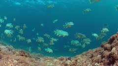 Sailfin and Blubberlip Snapper on a colorful coral reef. 4k footage