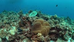 Colorful coral reef with healthy corals, plenty fish and a Hawksbill Turtle. 4k footage