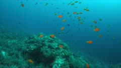 Manta ray swims on a colorful coral reef. Some sharks swimming around 4k footage