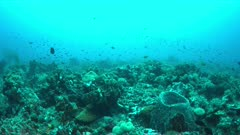 Coral reef with healthy corals, plenty fish and a Bluepoint Stingray. 4k footage