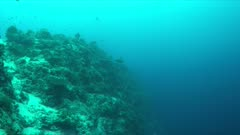 Whitetip Reef Shark on the edge of a coral reef. 4k footage