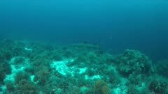 Whitetip Reef Shark swims on a colorful coral reef. 4k footage
