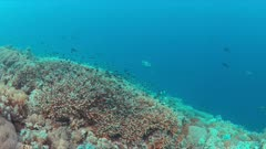 Whitetip Reef Shark swims on a coral reef. 4k footage