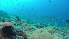 School of Humpback Snapper on a colorful coral reef. 4k footage