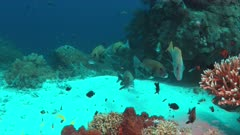 Harlequin sweetlips on a coral reef with plenty fish. 4k footage