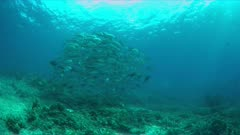 School of Big-eye Trevallies on a colorful coral reef. 4k footage