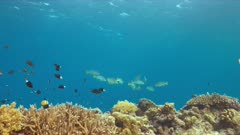 Diagonal banded sweetlips on a colorful coral reef. 4k footage