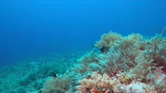Two Manta rays swimming on a coral reef. 4k footage