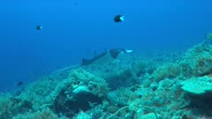 Manta ray swims on a colorful coral reef. 4k footage