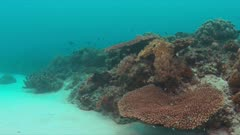 Octopus on a colorful reef with healthy hard and soft corals and plenty fish. 4k footage