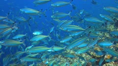 School of Double-lined Fusiliers on a slope of a colorful coral reef. 4k footage